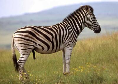Zebra (burchell's)